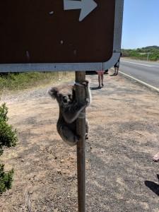 361119 koala on sign 1
