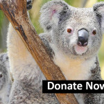 Save The Koalas Tour