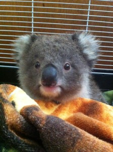 Hi Res Koala