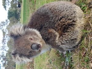 Koala #00334188