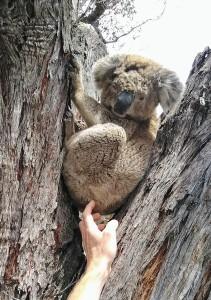 Koala #362301_001
