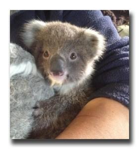 Koala Image 2