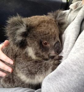 Koala joey square image