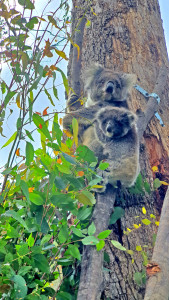 Mother-and-Baby-Koala-02