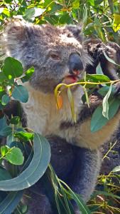 Mother-and-Baby-Koala-04