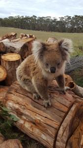 koala #330751_001